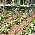 Sweet potato harvesting